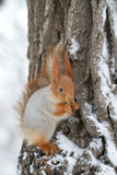 Red squirrel in winter. Closeup of red squirrel on tree in wintry snow stock image