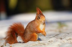 Red squirrel in winter Royalty Free Stock Photos