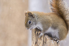 Red Squirrel in the winter Royalty Free Stock Photos
