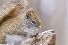Red Squirrel in the winter Stock Photo