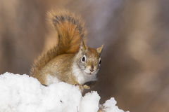 Red squirrel in winter Royalty Free Stock Images