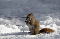 Red Squirrel in the snow in Winter stock images