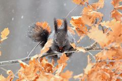 Red squirrel in winter, black form Royalty Free Stock Image