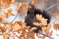 Red squirrel in winter, black form Royalty Free Stock Photo