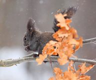 Red squirrel in winter, black form Stock Photo