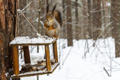 Red squirrel in the winter forest royalty free stock photo