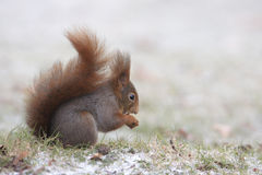 Red squirrel in winter Royalty Free Stock Photography