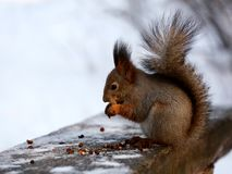 Red squirrel in winter park royalty free stock photo