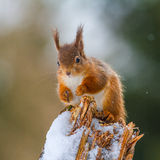 Red Squirrel in Winter Stock Image