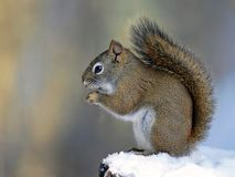 Red Squirrel in winter Stock Photos