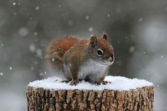 Red Squirrel in Winter Snow Royalty Free Stock Image