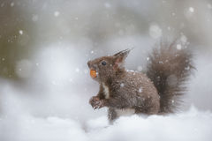 Red squirrel in winter snow fall royalty free stock image