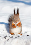 Red squirrel in winter Stock Photography