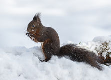Red squirrel in winter wilderness Royalty Free Stock Image