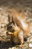 Red squirrel in wood Stock Images