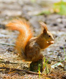 Red squirrel in wood Stock Image