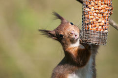 Red squirrel in wood eats a nut Royalty Free Stock Images
