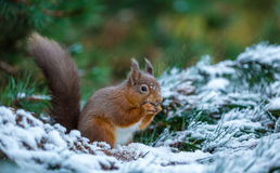 Red squirrel in Woodland Stock Photos