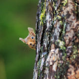 Red squirrel. In the woods stock image