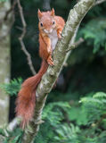 Red Squirrel. A red squirrel in the woods at Formby, near Liverpool, England stock photography