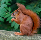 Red Squirrel. A red squirrel in the woods at Formby, near Liverpool, England stock image