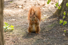 Red Squirrel. In the woods gnaws nut Royalty Free Stock Image