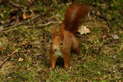 Red squirrel in the woods. Staring at you with attention Stock Images