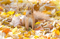 Red squirrel. On red, yellow and orange fallen leafs, shallow depth of field Stock Photography