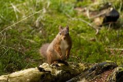 Red Squirrel from Yorkshire. stock image