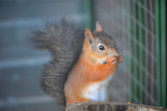 Red squirrel in the zoo Stock Image