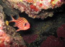 Red squirrelfish royalty free stock image