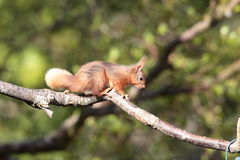 Red squirrell. Royalty Free Stock Photo