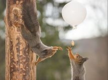 Free Red Squirrels Are Reaching A White Balloon Royalty Free Stock Image - 115205856