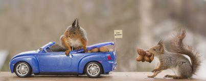 Red squirrels in a car with nuts Stock Photography