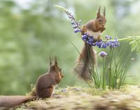 Red squirrels with chive and a lupine Stock Photography