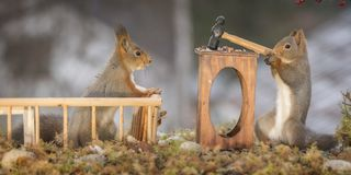 Red squirrels with a desk with an hammer. Red squirrels with an desk with an hammer Royalty Free Stock Photos