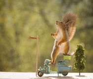 Red squirrels on a motorbike with a Tennis Racket Royalty Free Stock Images