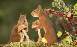 Red squirrels with mushrooms Stock Photo
