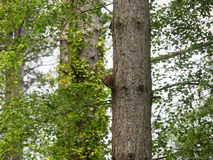 Red Squirrels Royalty Free Stock Photo