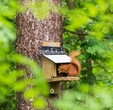 Red Squirrels Stock Photos