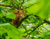 Red Squirrels. At Newborough forest amongst the trees and feeders - Isle of Anglesey royalty free stock photography