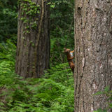 Red Squirrels Royalty Free Stock Images