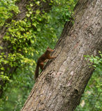 Red Squirrels Royalty Free Stock Image