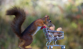 Red squirrels with shopping cart. Red squirrels buy nuts royalty free stock photos