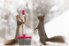 Red squirrels standing with a brush. Red squirrels are standing with a brush Royalty Free Stock Photo