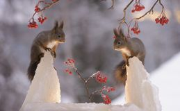 Squirrels standing on ice with berry branches. Red squirrels are standing on ice with berry branches Stock Photos