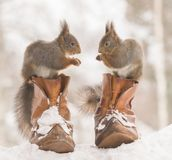 Red squirrels are standing on shoes in snow. Red squirrels are standing in and on shoes in snow Stock Photography