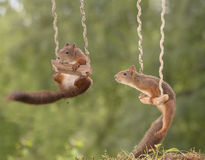 Red squirrels on a swing Royalty Free Stock Photography