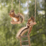 Red squirrels on a swing Royalty Free Stock Photos