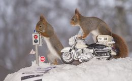 Red squirrels on a traffic light and a police motor cycle. Red squirrels on a traffic light and on a police motor cycle Stock Photos